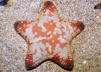 日本で初めて発見された「オウサマツブハダヒトデ」(海洋博公園提供)