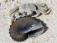 超レア! タコブネの殻を発見 沖縄・多良間島 コレクターに人気