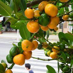 暑さが幾分か和らいだ那覇市内では、街路樹のフクギの実がオレンジ色に熟していた=22日午前、同市泉崎(国吉聡志撮影)