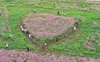 ハート型!?のコスモス畑でインスタ映え 沖縄・読谷 米軍跡地を華やかに彩る
