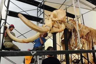 着々と組み上げられるアフリカゾウの骨格標本=14日午前、那覇市おもろまちの県立博物館・美術館