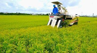 黄金色に実った稲を収穫する山根さん=24日、石垣市新川