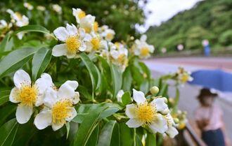 ほのかに甘い香りを漂わせるイジュの白い花=25日午後、名護市世冨慶(金城健太撮影)