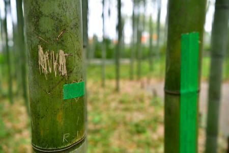 【京都】京都・嵐山の竹林の竹に落書き 刃物でアルファベットか 傷つけられた竹は約100本 ->画像>12枚