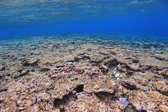 写真2 ほぼ死んでいるサンゴ。213年12月9日、渡嘉敷島の北にある儀志布で撮影