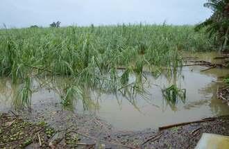 降り続いた雨で冠水したサトウキビ畑=9日、宮古島市下地嘉手苅