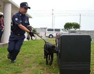 スーツケースに隠された麻薬臭をかぎ取るエディ=豊見城市、麻薬探知犬管理センター