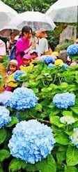 小雨がぱらつく中、アジサイの花に見入る園児たち=20日午前11時すぎ、名護市稲嶺・すえよし花園(松田興平撮影)