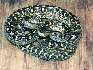 沖縄にすむ毒蛇ハブ