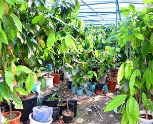 ビニールハウスで栽培するカカオ=大宜味村田嘉里