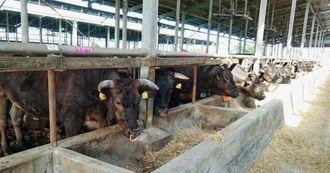 JAおきなわの八重山肥育センターで肥育されている石垣牛=石垣市(JAおきなわ提供)