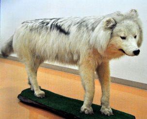 インターネットオークションに出品されたオオカミの剥製(県警提供)