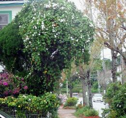 コノテガシワの木にはって白い花を咲かせているシロバナノアサガオ=12日、名護市大西