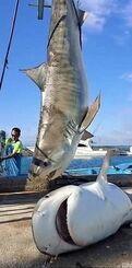 捕獲されたサメと仲宗根克さん(左)=14日、今帰仁村・古宇利漁港(妻絵美さん提供)