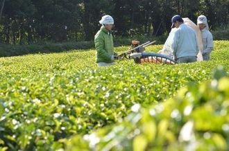 陽光の中、一番茶が収穫された=名護市伊差川