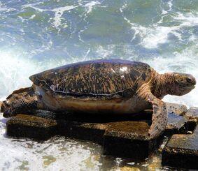 北谷町宮城の海岸に打ち寄せられたウミガメの死骸=17日、北谷町宮城