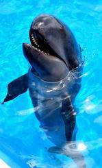 カメラに近づき口を大きく開くオキゴンドウの赤ちゃん=8日、海洋博公園