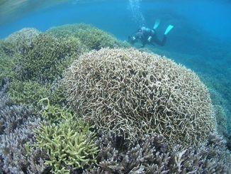 国立公園に指定される慶良間諸島海域。阿波連ビーチ沖にはエダサンゴが広がっている=4日午後、渡嘉敷村(伊禮健撮影)