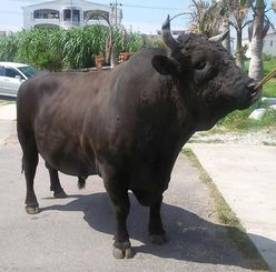 巨体を生かした怒涛の押し込みで最強牛となった古堅モータース☆若力。11月に王座初防衛を果たしたが、来年どこまで防衛回数を伸ばすのかが焦点