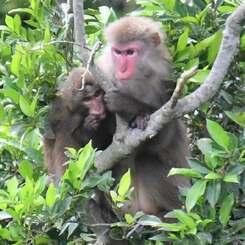 逃げながら木の上で身を寄せ合う親子とみられるヤクシマザル=28日午前9時44分、北中城村島袋