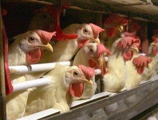 (資料写真)狭いケージで複数羽を飼育する養鶏場