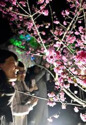照明に浮かび上がる幻想的な夜桜を楽しむ来場者=1日、今帰仁村・今帰仁城跡