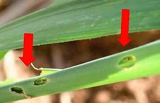 ツマジロクサヨトウの食害が確認された若い株のサトウキビ=石垣島(県病害虫防除技術センター提供)