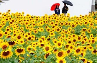 畑いっぱいに咲き、通行人の目を楽しませているヒマワリ=12日午前、北中城村荻道(松田興平撮影)