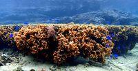 長さ1メートル サンゴ確認 辺野古崎付近