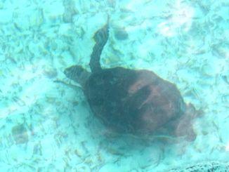 辺野古新基地建設現場の沖合約150メートルを泳ぐウミガメ=9日午前9時43分