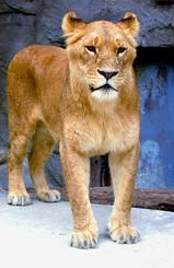 老衰のため死んだ雌ライオンのリンゴ=2004年(沖縄こどもの国提供)