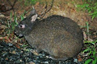 奄美の自然のシンボル・アマミノクロウサギ=奄美大島(南海日日新聞社提供)