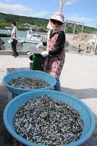 沖縄・奥武島でスク水揚げ 「昨年よりも大漁」漁師ら笑顔こぼれる