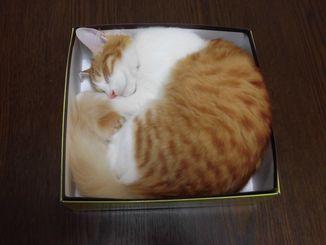 「箱入り娘」空箱を置いていたら、勝手に寝ていました