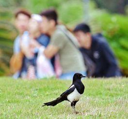 芝生に舞い降り餌を探すカササギ=8日、本部町・海洋博記念公園(島袋仁明通信員撮影)