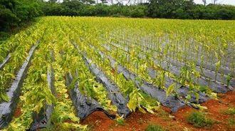 強風の影響で葉が落ちた葉タバコの畑=12日、宮古島市