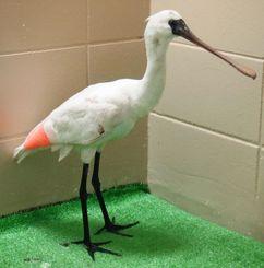 骨折した翼を固定しているクロツラヘラサギ=うるま市前原・どうぶつたちの病院沖縄