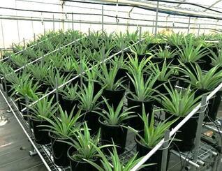 アララガマ農園で鉢植え栽培されているパイナップル=竹富町(同農園提供)