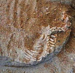 縄文時代の地層で発見された犬の骨。上から頭、けい骨、胴体の骨格がみてとれる=名護市安和(名護市文化課提供)