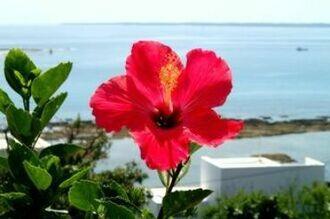 沖縄で良く見られるハイビスカスの花