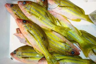 【ヨスジビタロー】浅瀬で釣れ、ビタローと見た目が似ていることから「イノービタロー」と呼ばれることもある(マルカ水産提供)