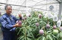 沖縄産マンゴー、豊作の前年から一転不作 生産量3割減か