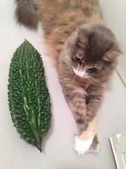 「猫のごまも大喜びだにゃー」真夏の沖縄。家に帰るとご近所さんから大きなゴーヤーが玄関にぶら下がってました。