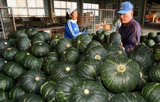 収穫した南風原カボチャを集荷場に運び込む農家=14日、南風原町山川・JAおきなわ南風原支店(渡辺奈々撮影)