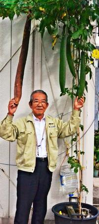 冬だけど、那覇であの「夏野菜」たわわ 60センチ超の収穫も