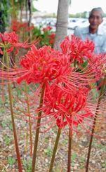 色鮮やかに咲いたヒガンバナが、訪れる人を楽しませている=12日、南風原町立中央公民館