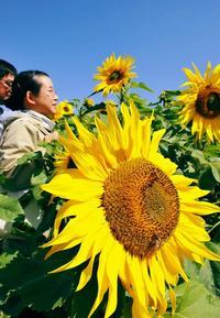 太陽の光たっぷり! 沖縄・北中城村でヒマワリ満開 きょう「雨水」