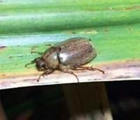 最新技術は「性フェロモン」 サトウキビの害虫防除、沖縄県農業研が実用化