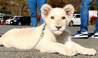 ホワイトライオンのリズムちゃん 来月、沖縄こどもの国へ