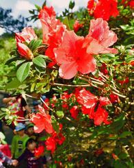 色鮮やかに開花し始めたツツジ=1日、東村平良・村民の森つつじ園(金城健太撮影)